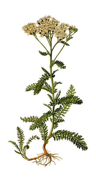 yarrow branch.png